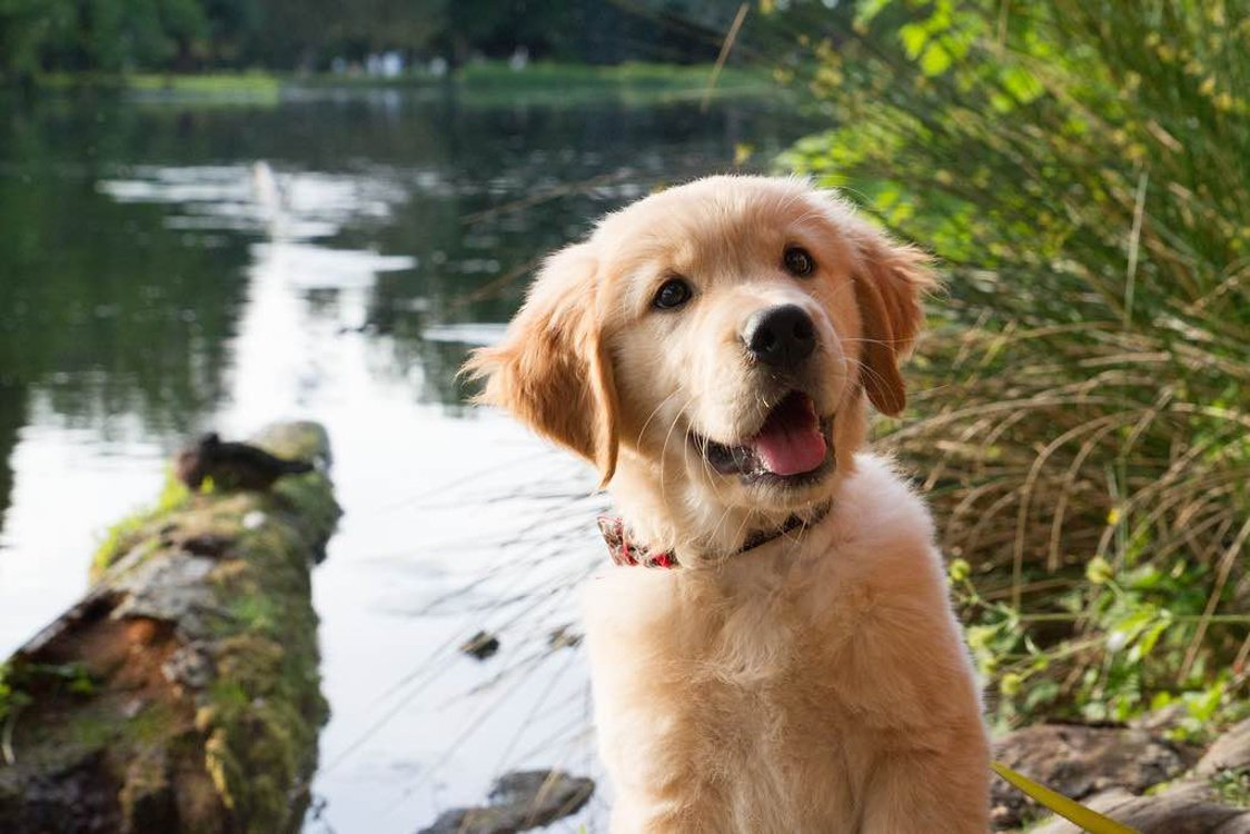 Cutest Golden Retriever Puppy Ever