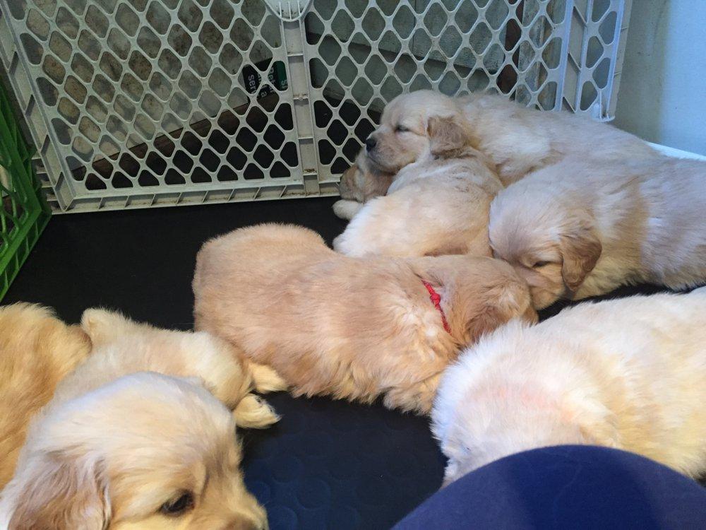 Golden Retriever Puppy Pile