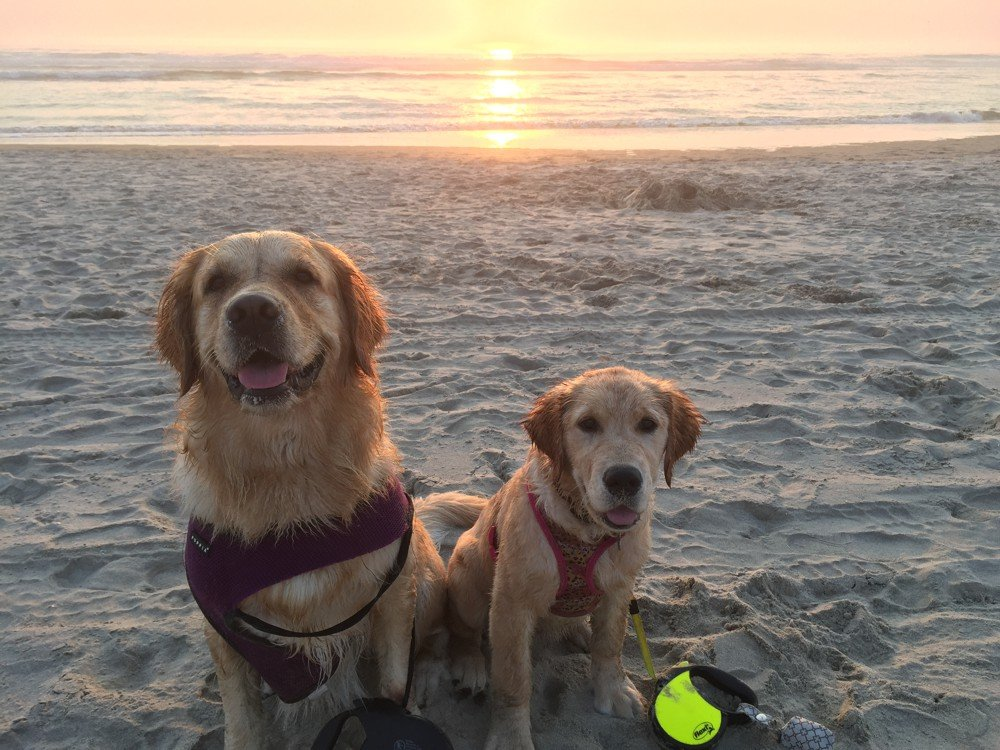 Golden Retrievers on the Beach at Sunset