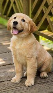 Cute Golden Retriever Puppy, Adorbs!